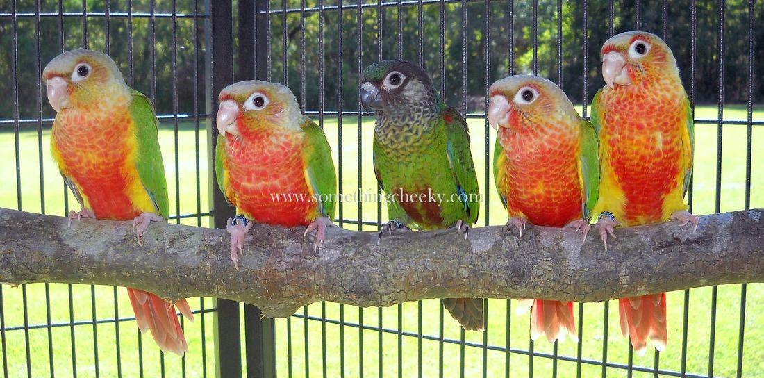 Bird Breeders In Nc
