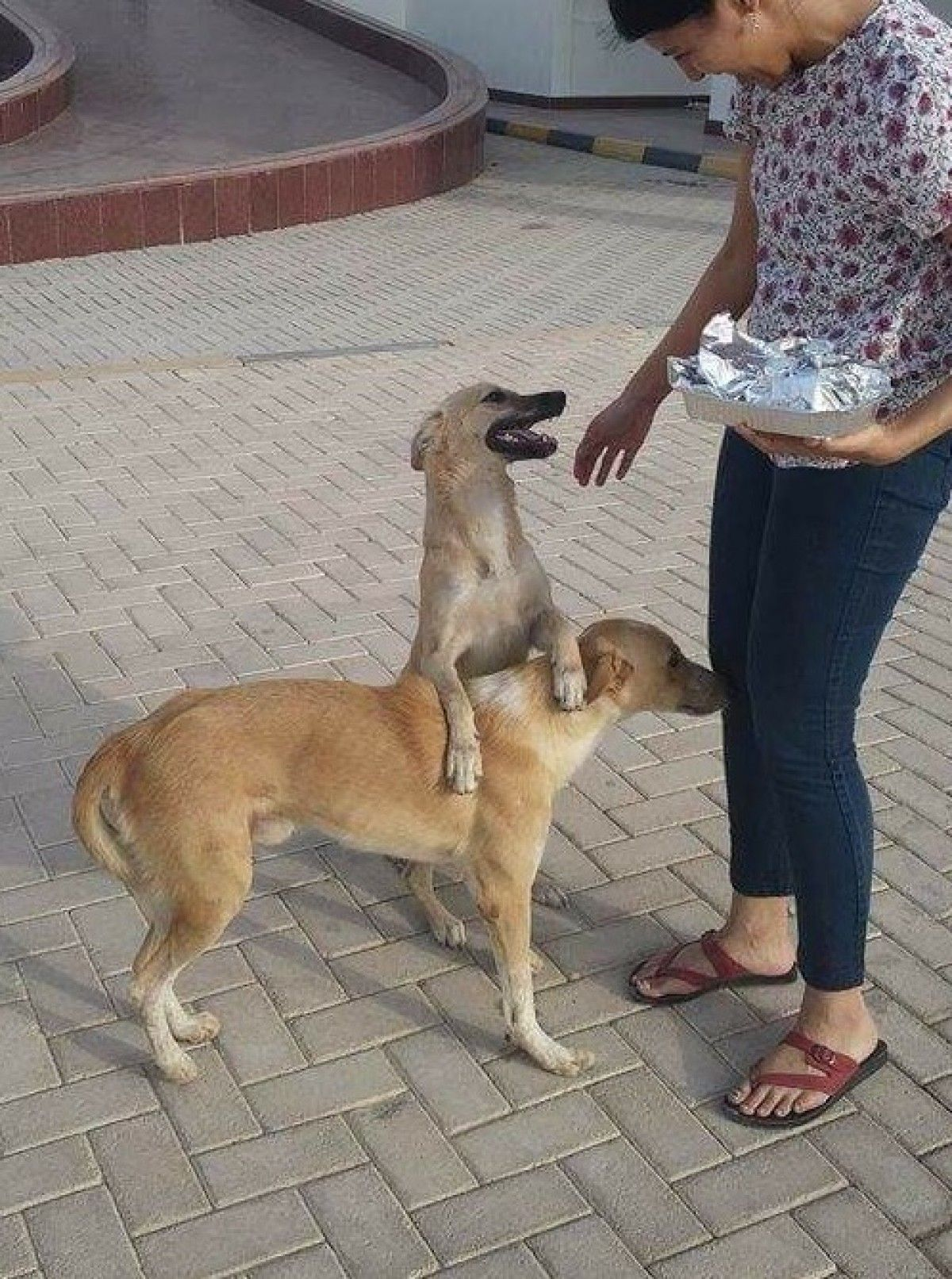 Canaan dogs looking for a home! Dogs Dubai Adopt My