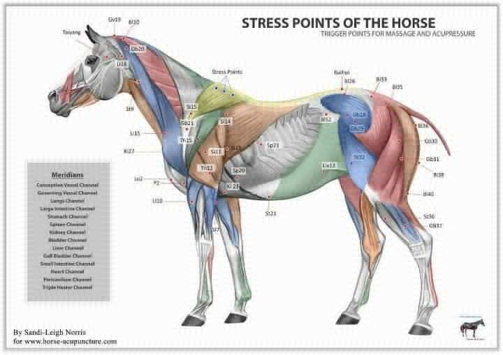 Stress Points Chart Horses Horse Therapy Equine Acupressure