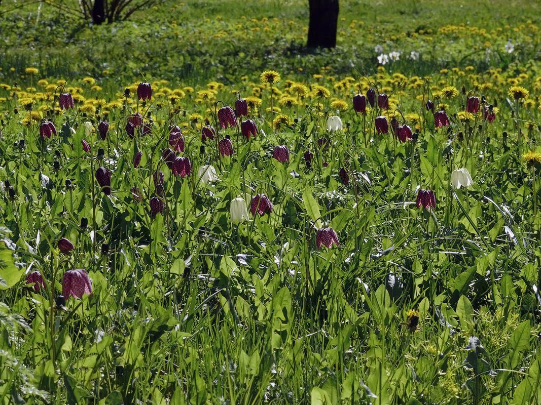Kirjopikarililja, Fritillaria meleagris - Kukkakasvit - LuontoPortti