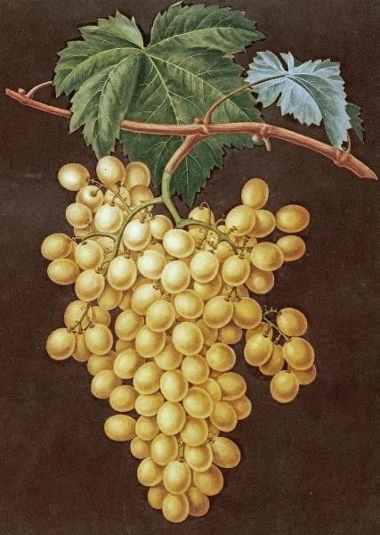 Alexandria Grapes by Brookshaw, George - Wall Art Giclee Print or Canvas