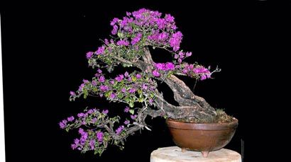 bougainvillea glabra by enrique castano 98 cm pot from ticul bougainvillea bonsai bonsai