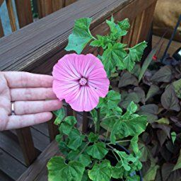 Amazon com : 10+ Dinnerplate Hibiscus/ Perennial Flower Seed/ Easy