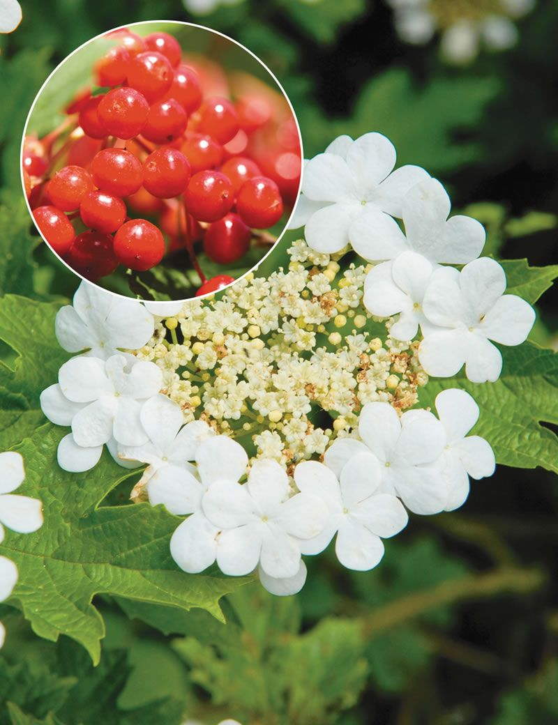 Lovely lace cap flowers open from late spring into summer the