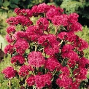 Ageratum Seeds For Sale Annual Flower Seeds Sea Flowers Plants Annual Flowers