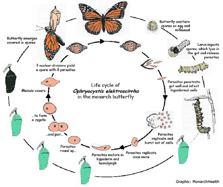 Butterfly Life Cycle Printable | Monarch Butterfly Egg