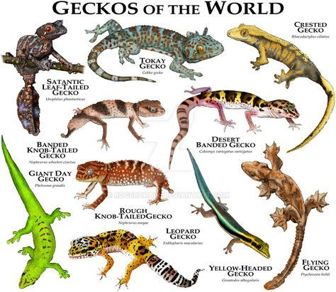 Geckos of the World by rogerdhall on DeviantArt | Geckos posters ...