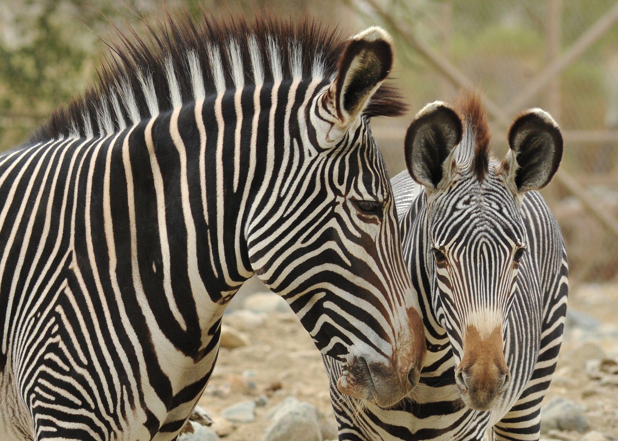 Grevy S Zebra On Habitat At The Living Desert