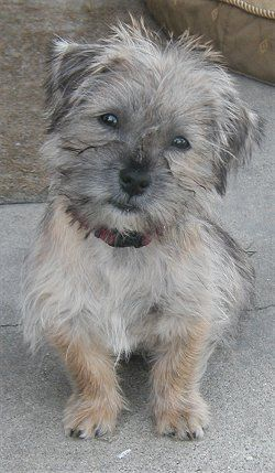 Cairn Terrier Shih Tzu Mix For Short At 5 Months Old A Care