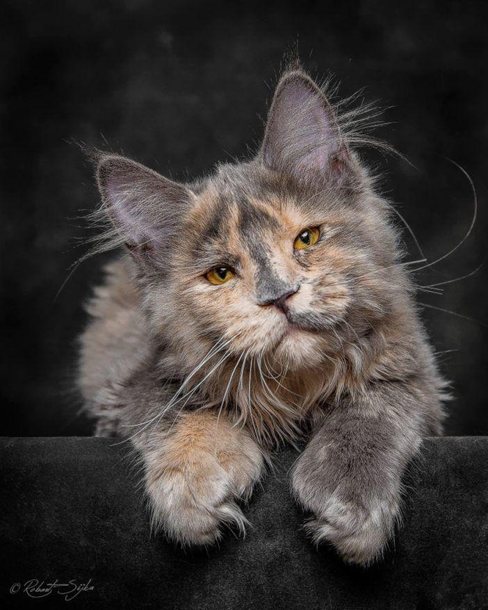 Ein Mann Macht Die Schonsten Fotos Von Maine Coon Katzen Solche Hast Du Noch Nie Gesehen Diy Bastelideen Tier Katzen Main Coon Katze Und Coole Katzen