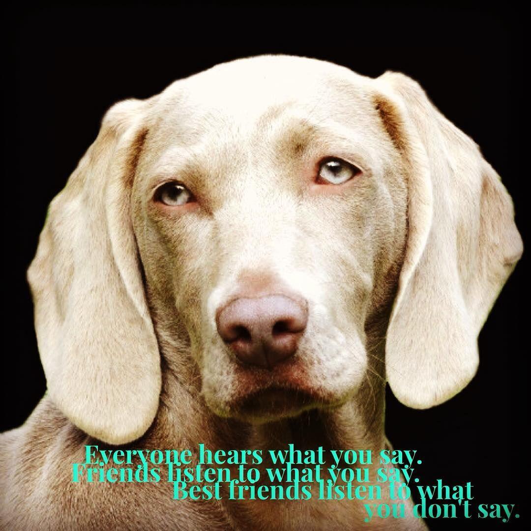 Dog Weimeraner Dogs Labrador Retriever Funny Images
