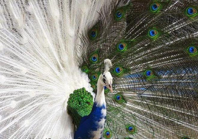 Pin By عبدالرحيم البلوشي On Birds World عالم الطيور Rare Albino Animals Albino Peacock Rare Animals