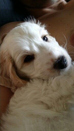 Cockerchon Puppy Animals Dogs