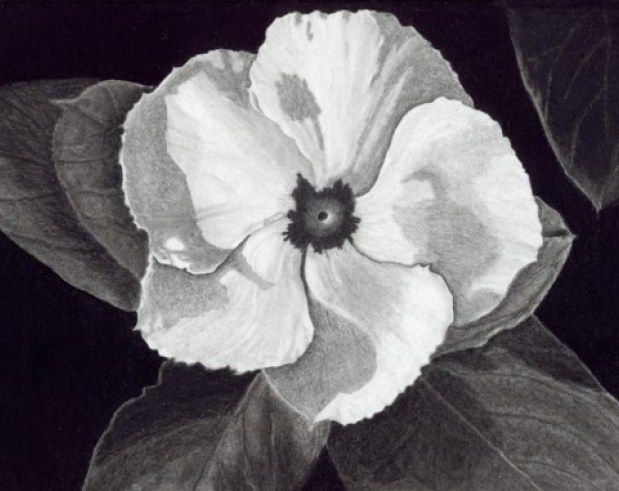Fine art floral flower drawing in pencil charcoal and carbon