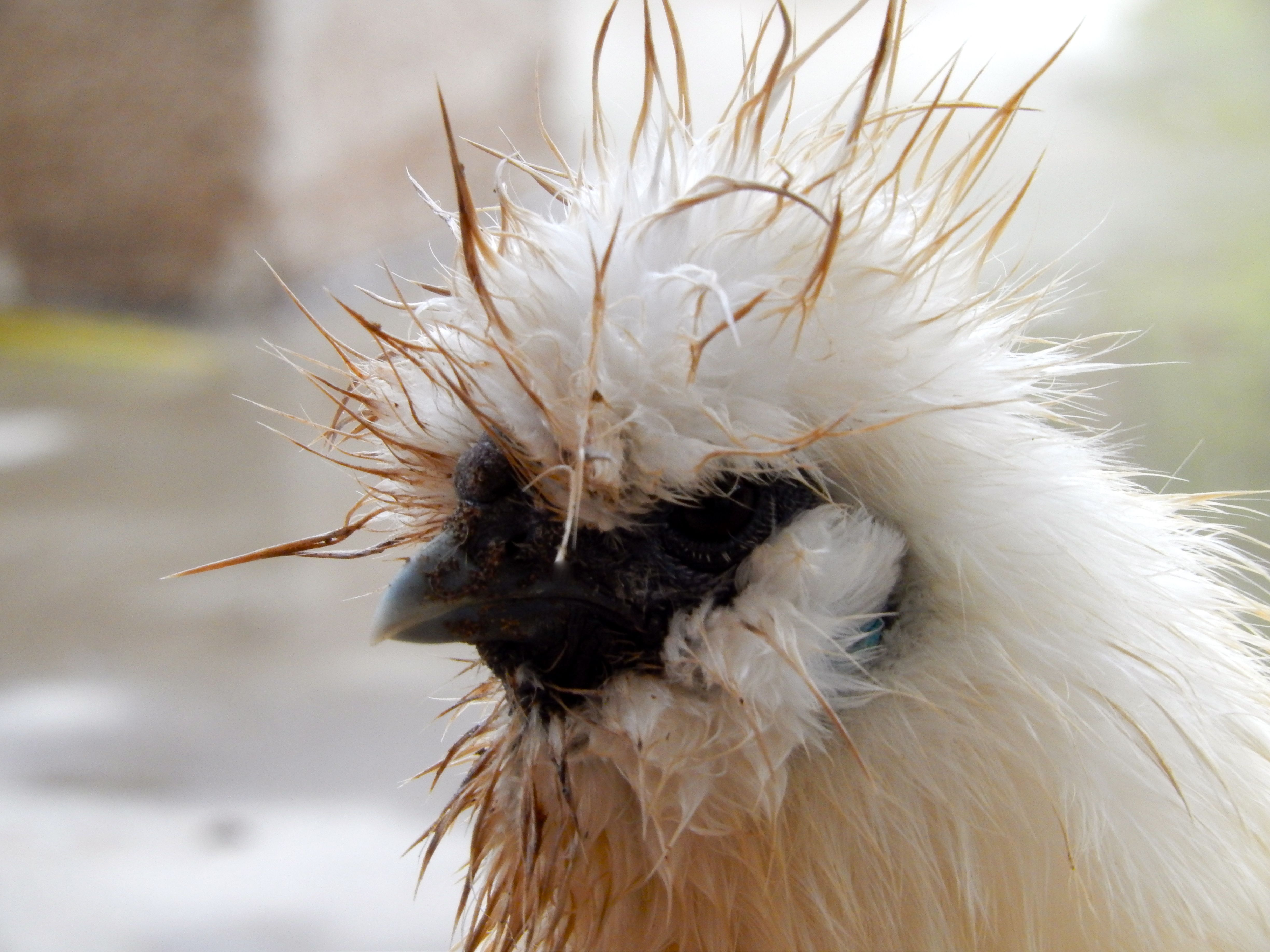 Mohawk Chicken Mohawks Chic Hairstyles And Hens