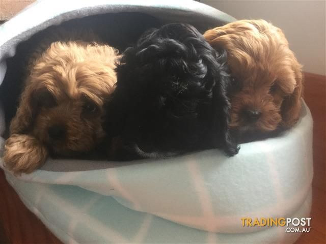 Toy cavoodles for sale in Wantirna South VIC Toy