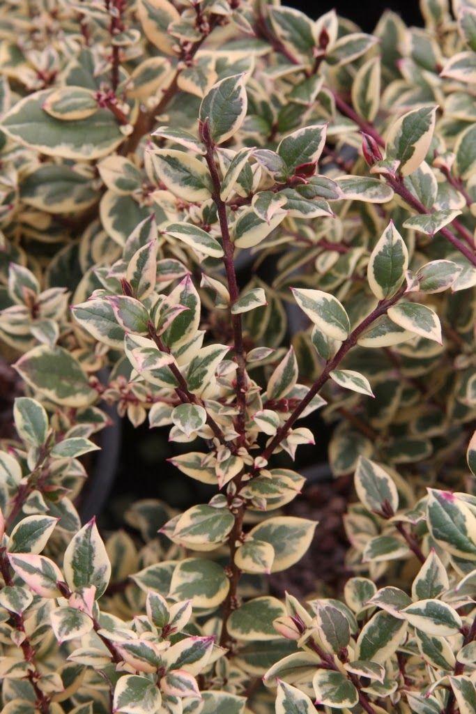Luma Apiculata Glanleam Gold Variegated Plants Garden Trees