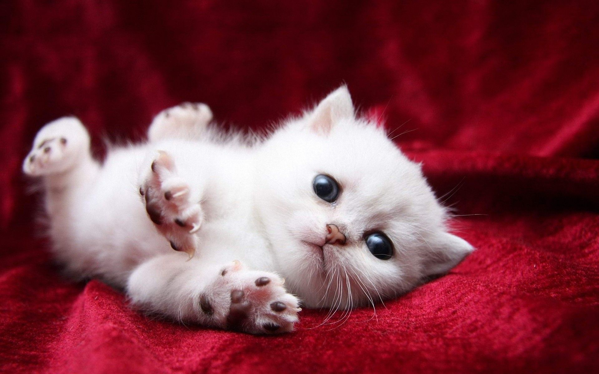 White cats are beautiful 30 photos