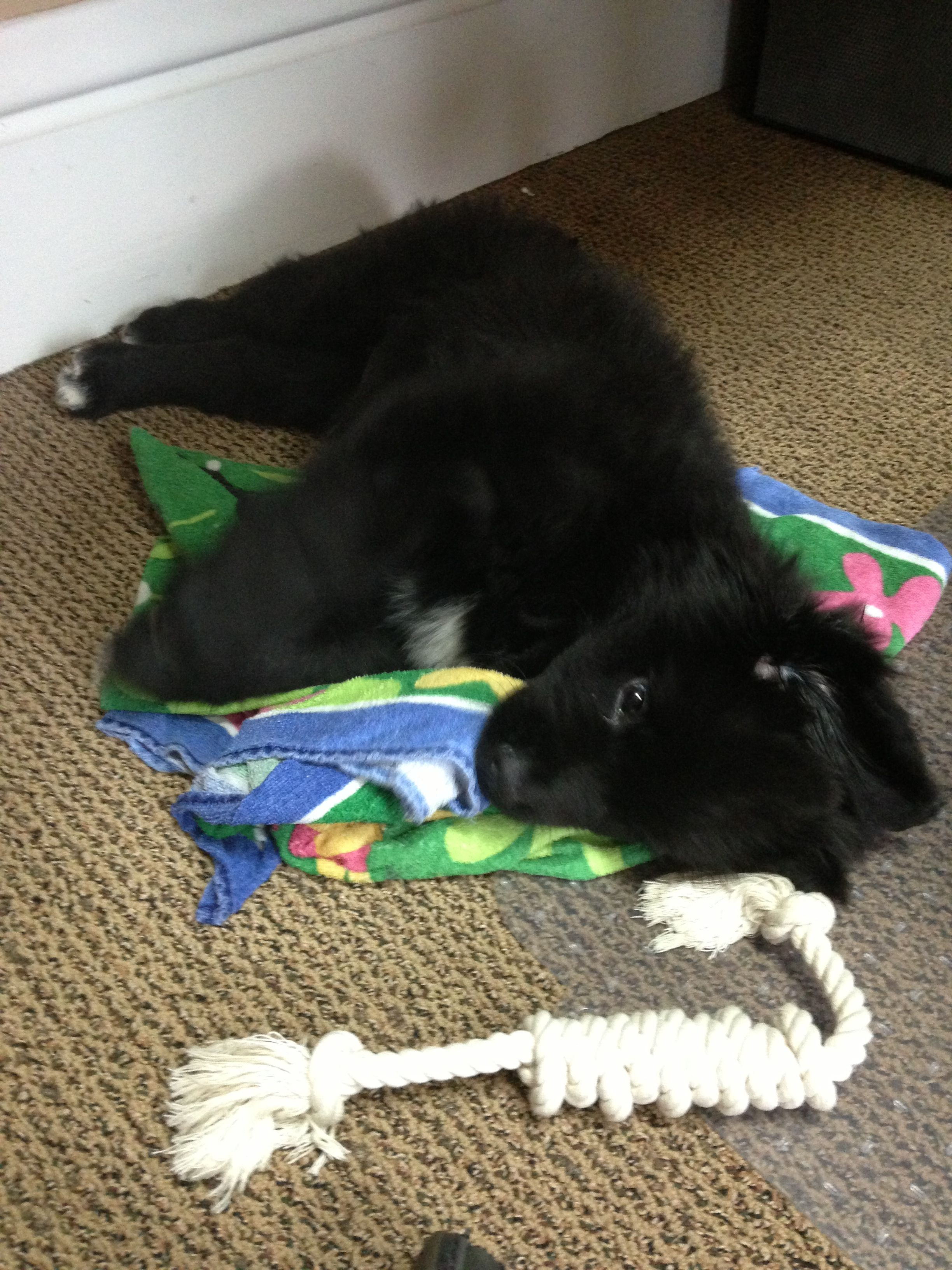My adorable Newfoundland pup!!