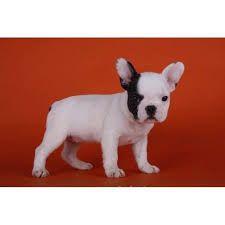 Ranskanbulldoggi Pentu Google Haku French Bulldog Bulldog Dogs