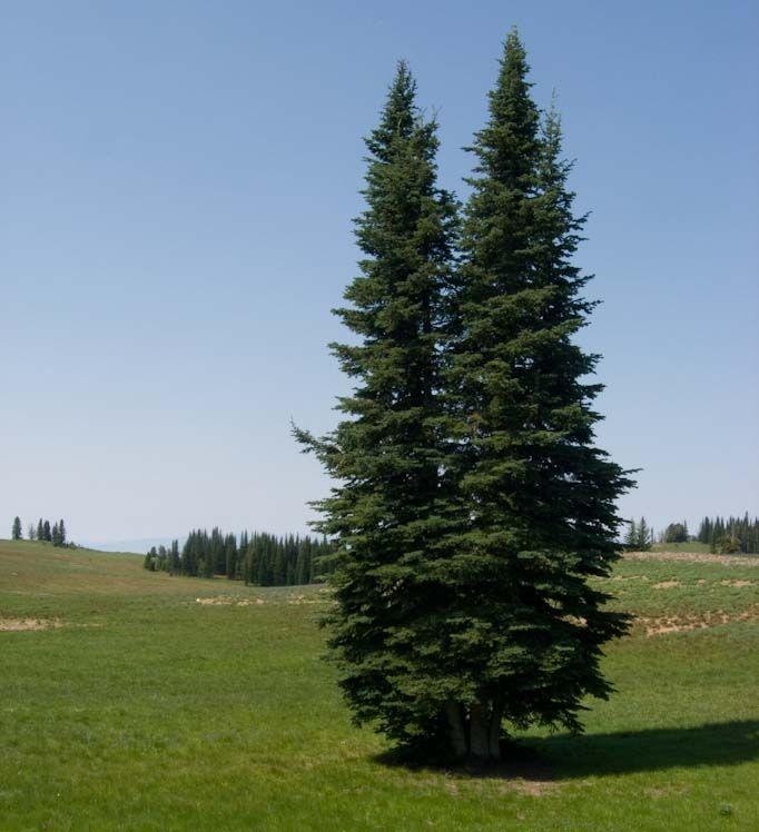 alpine fir tree - google