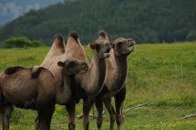 singing camels omg hahahaha