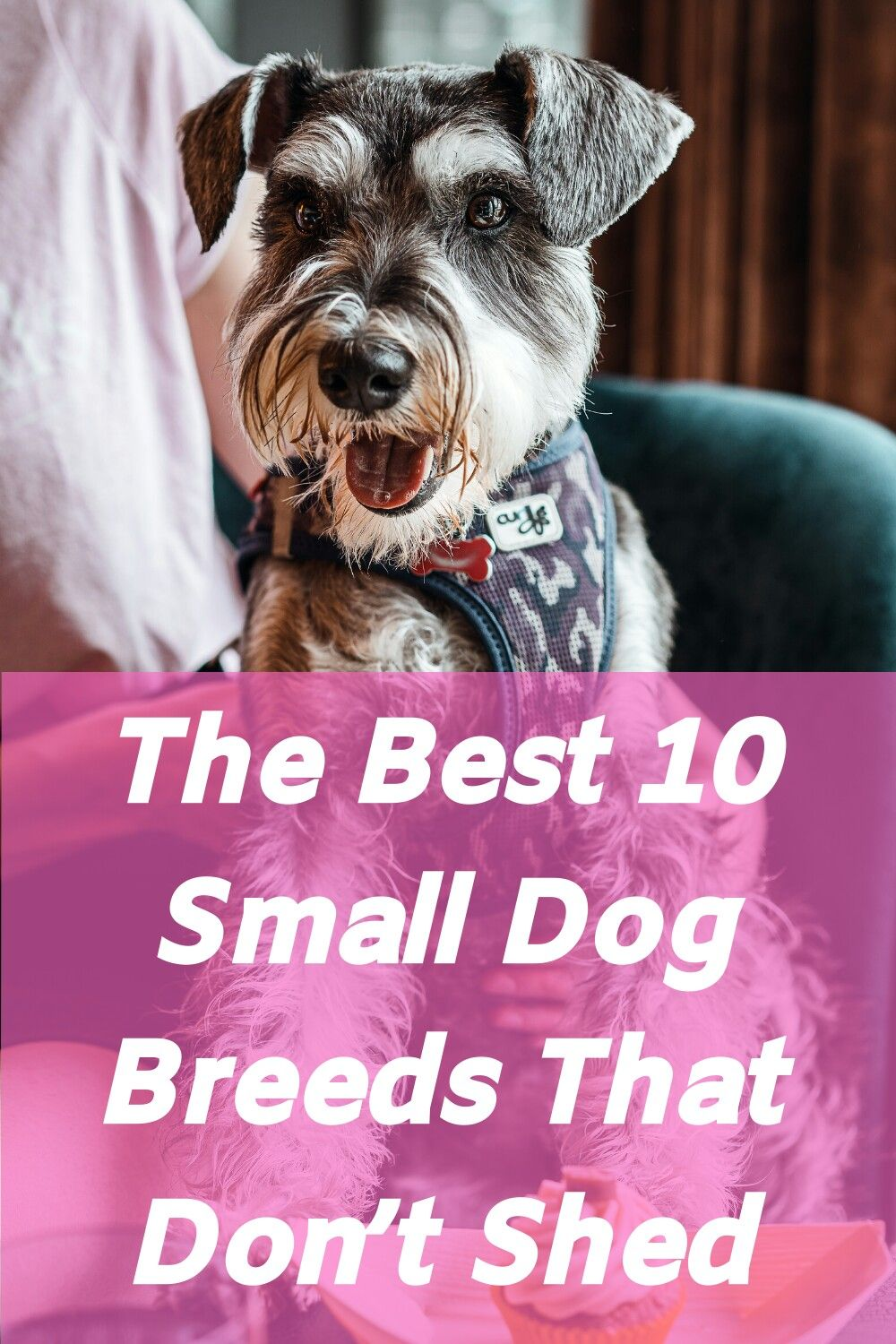 The Best 10 Small Dog Breeds That Dont Shed In 2020 Small Dog Breeds Dog Breeds That Dont Shed Best Small Dogs