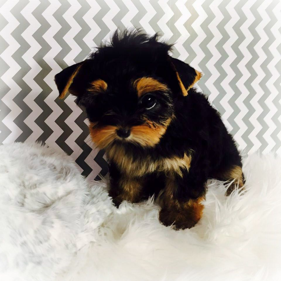 Charm Valley Yorkies Home Of Luxurious Teacup Baby Doll Face Yorkies Teacup Yorkie For Sale Yorkies For Sale Teacup Puppies For Sale