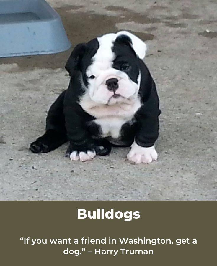 Bulldogsarebeautiful Bulldogslife Animals Bulldog Puppies