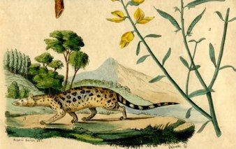Civet French 1854 Hand Coloured Engraving 4 X 6 25 Animals Hand Coloring Lizard
