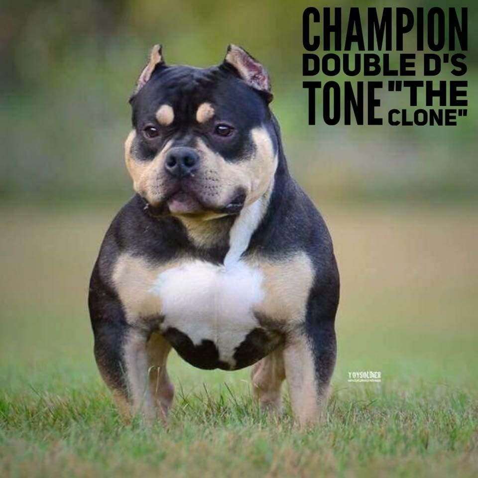 Introducing 2017 Bully King Mascot Champion Tone The Clone Tone A Ch Lucky Luciano Son Stormed Onto Th Bully Breeds American Bully Best Dogs For Families