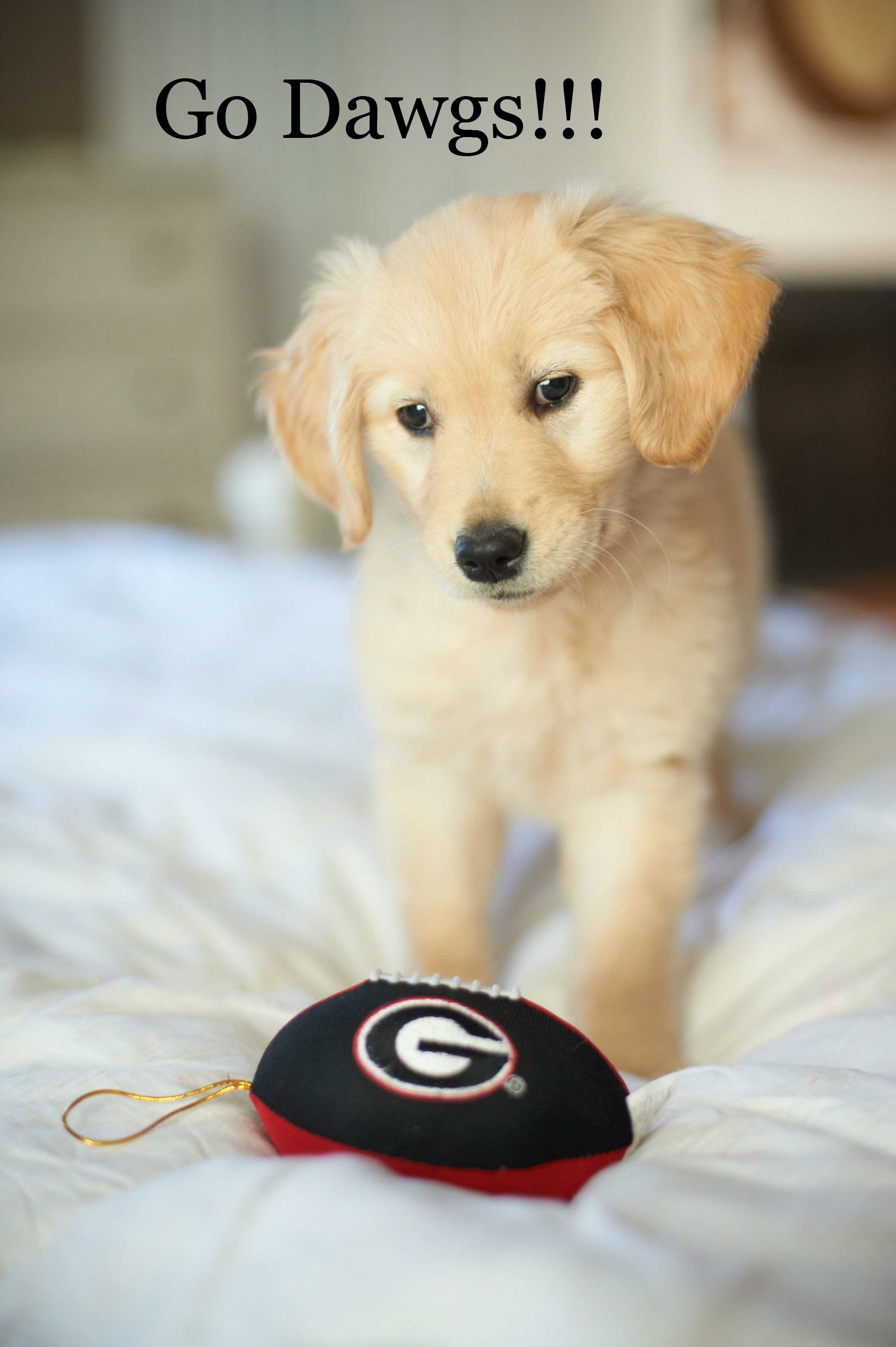 Golden retriever uga miss Dixie Cute puppies, Golden