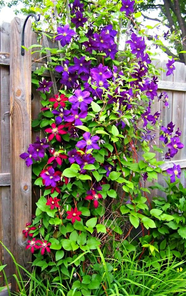 Clematis Combos With Images Clematis Trellis Purple