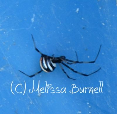 How To Get Rid Of Black Widow Spiders In Garage