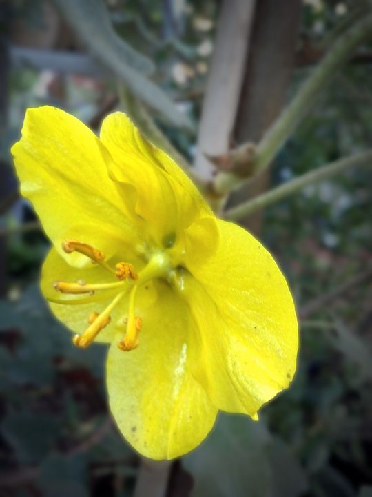 Fremontodendron 'California Glory' Lovely, but itchy!