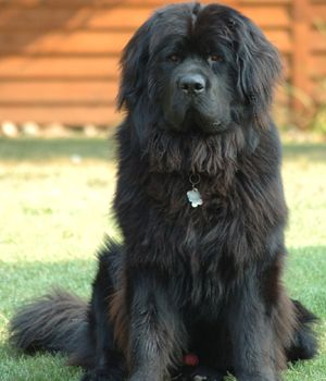 Newfoundland Price Temperament Life Span Big Dog Breeds