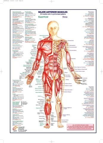 Skeletal Muscle Chart Anterior Anatomy Medical Charts