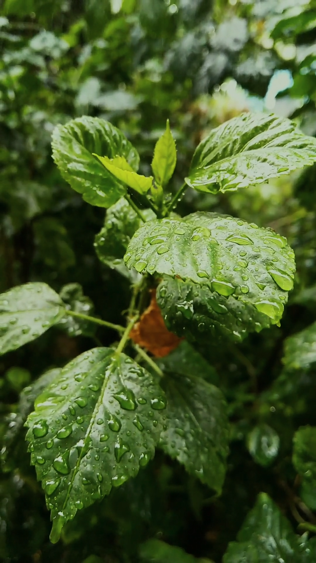 Rain Drops On Leaves Of The Plants