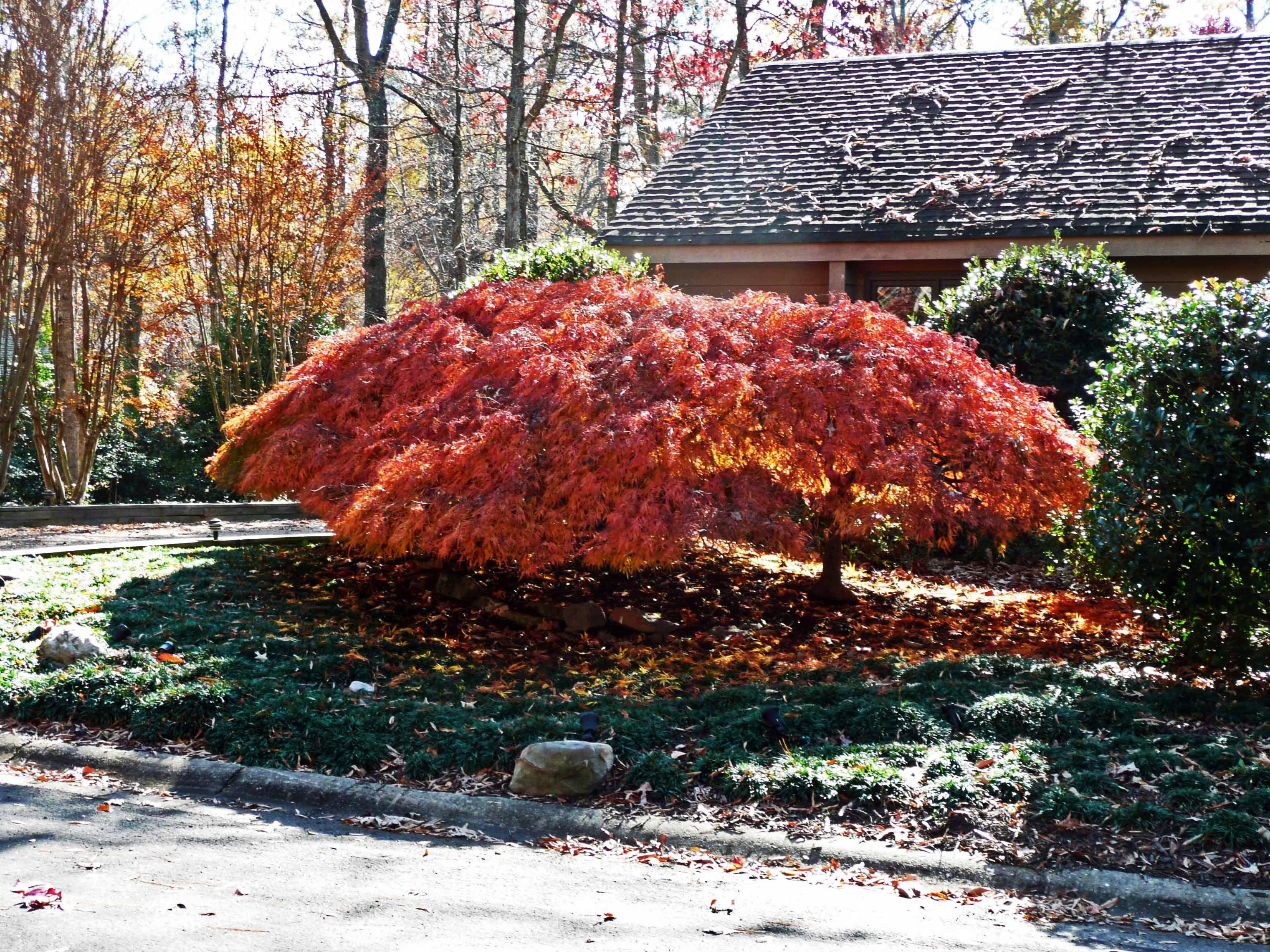Japanese Maple, Midlothian, Va., fall 2014, by Robert Kelley