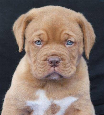 Vhandham Dogue De Bordeaux American Staffordshire Terriers