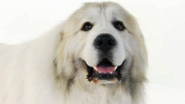 Great Pyrenees Love Them Great Pyrenees Great Pyrenees Dog Dogs