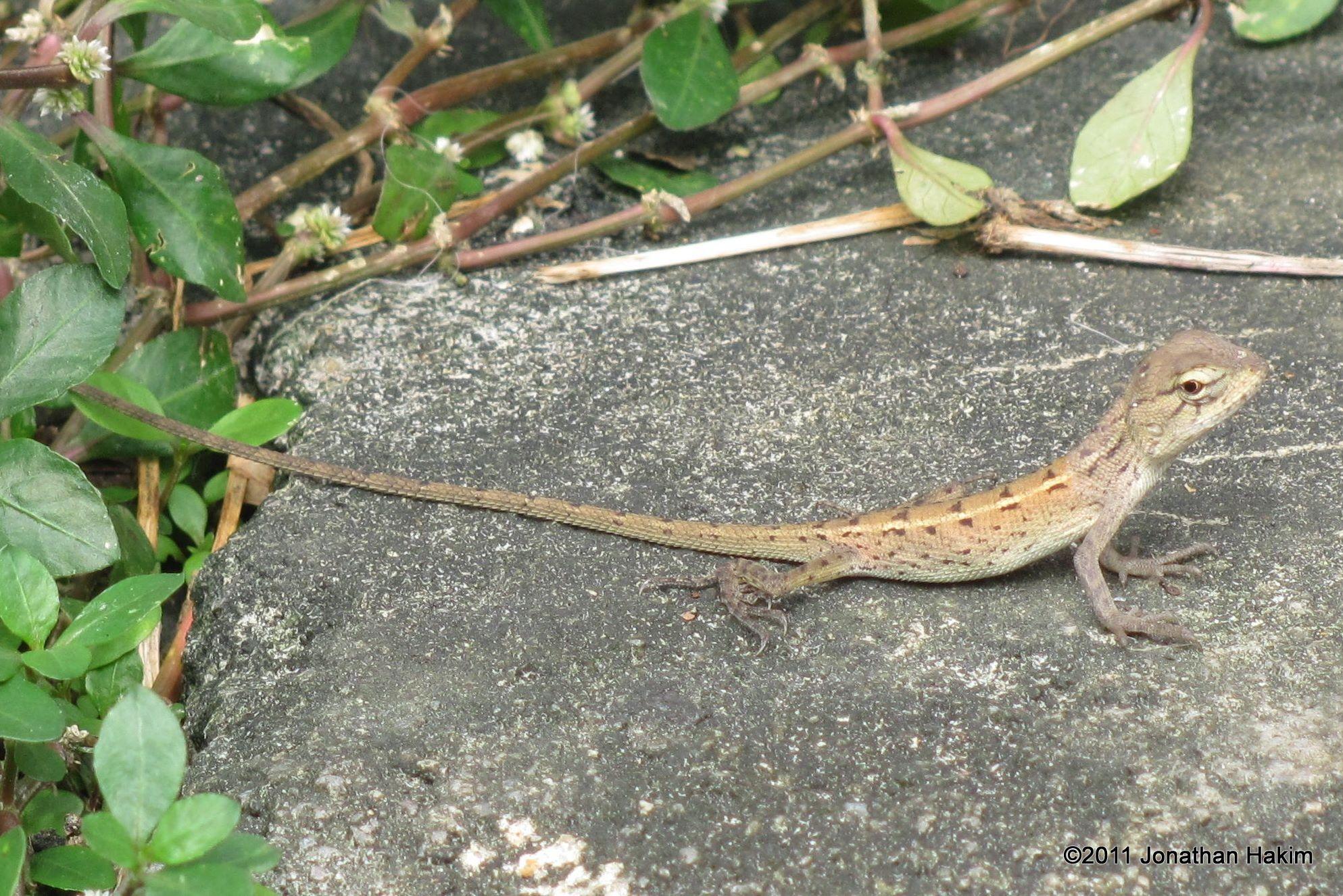oriental garden lizard | garden, oriental, animals