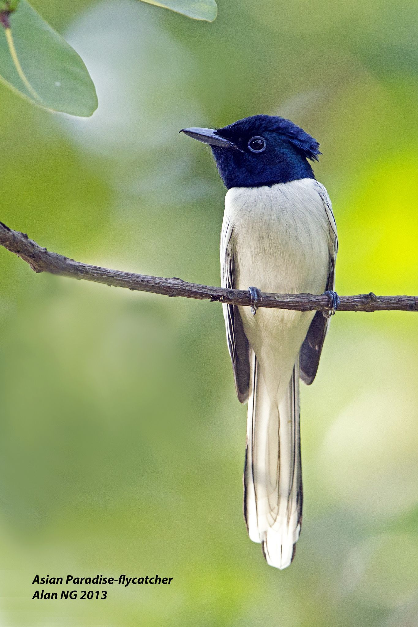 Asian Paradiseflycatcher (White Morph) (With images