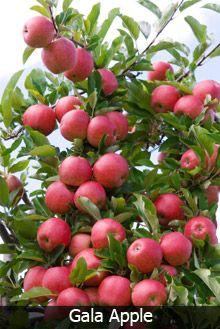 3 In 1 Apple Tree Fructe Legume