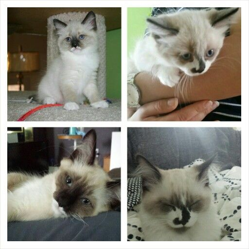 Ragdoll Kittens Color Changes As They Grow Kittens Coloring Ragdoll Kitten I Love Cats