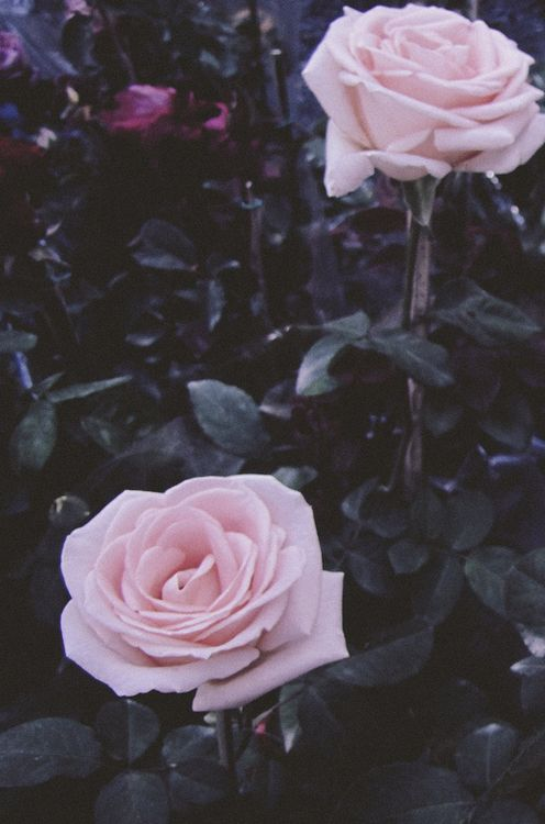 Pink Roses for someone special in my life 🌹 | Flower aesthetic, Pastel aesthetic, Pink aesthetic