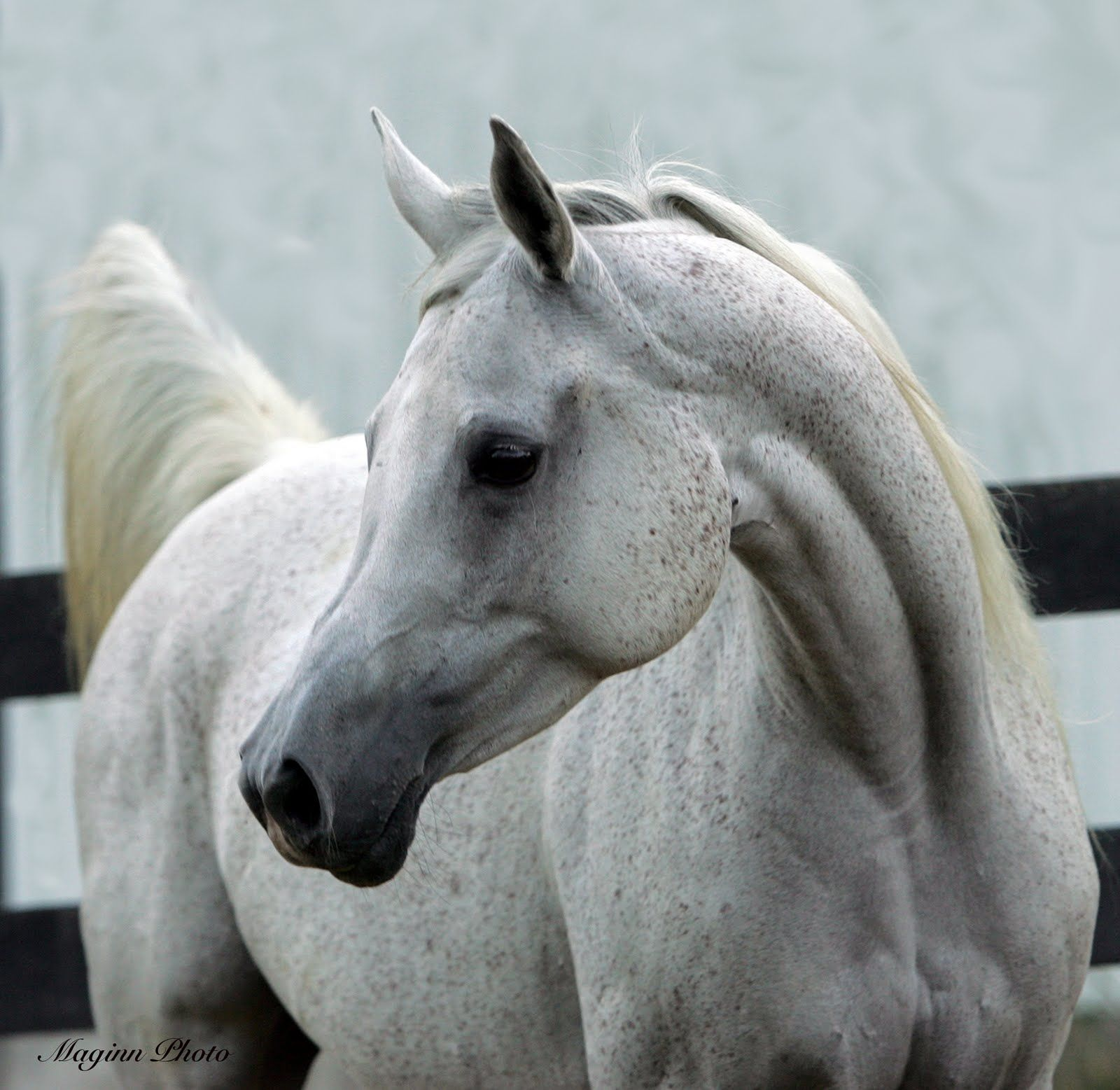 Horse Arabian head pictures images