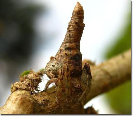 Tree Stump Spider
