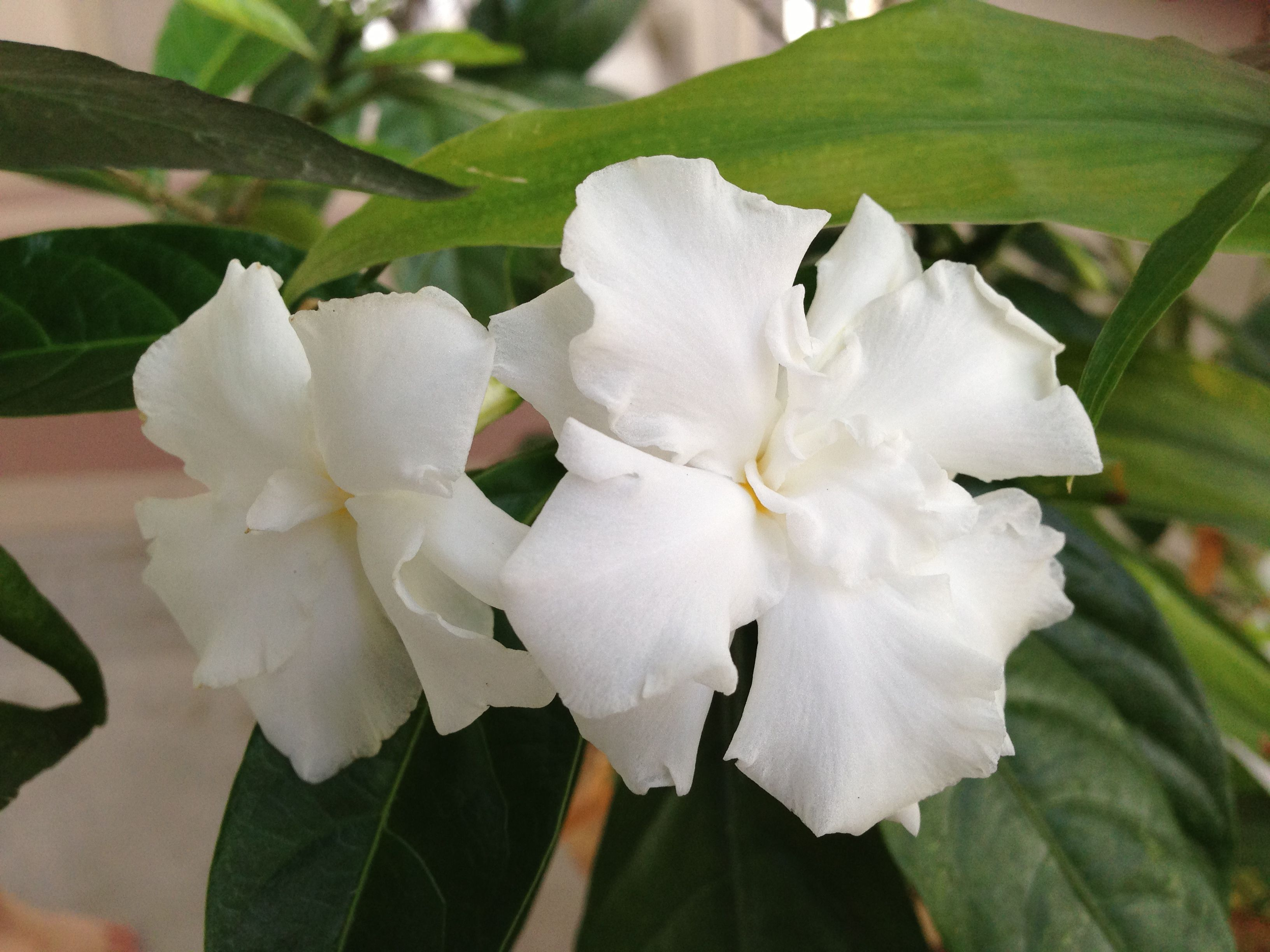 Crape Jasmine - Flowers That You Can Easily Grow In Your Backyard
