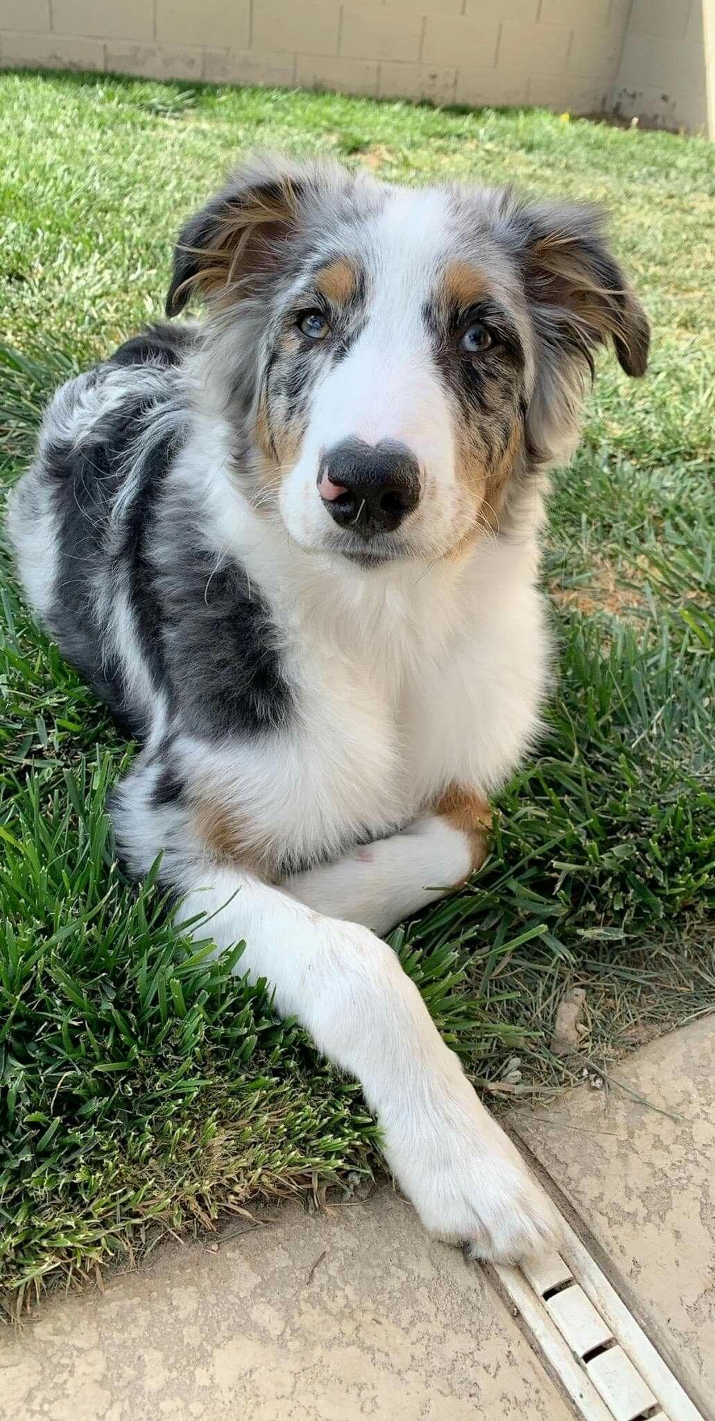 Carman Aussies 2018 puppy Mason. Puppies, Dogs